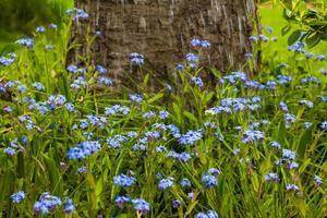 gouttes deau qui tombe printemps fleurs bleues photo
