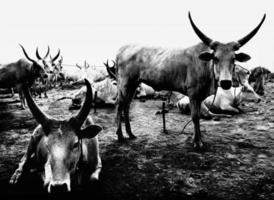 bétail africain photo