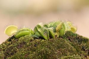 Dionaea muscipula photo