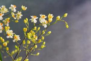 mini fleurs d'oncidium photo