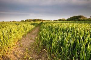 champ de blé de printemps