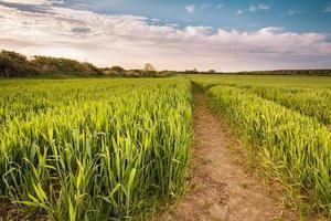 culture de blé en croissance