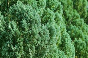 branches vertes de cèdre photo