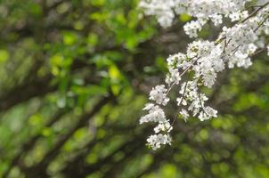 fleurs de cerisier prune