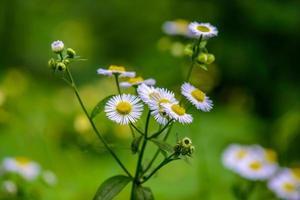 belle fleur de camomille