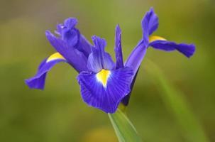 fleur d'iris pourpre photo