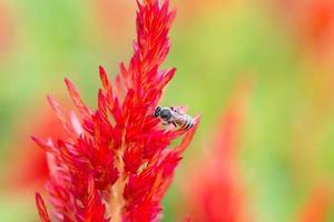 fleur de crête de coq rouge avec abeille photo