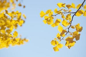 feuilles de ginkgo jaune en automne