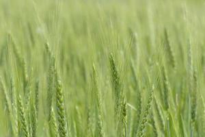 champ de blé en été photo