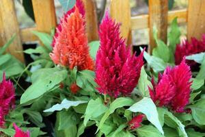 fleurs colorées de crête de coq ou fleur de laine chinoise