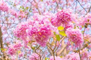 tabebuia rosea est une floraison