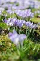 printemps crocus violet sur l'herbe verte à la journée ensoleillée