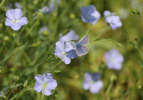 Buttefly bleu commun sur fleur de lin photo