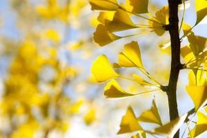 Feuilles de ginkgo jaune d'automne contre le ciel