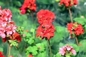 belle fleur rouge photo