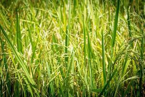 riz vert photo