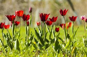 tulipe avec bokeh.