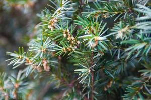 branche de genévrier avec cônes mâles producteurs de pollen
