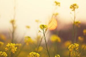 champ de moutarde au coucher du soleil photo