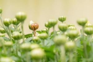 bouton de fleur rouge qui sort beaucoup de vert