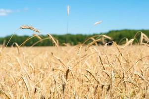 champ ensoleillé avec du blé photo