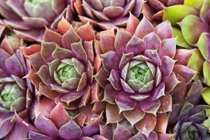 sempervivum joubarbes poules et poussins macro close up