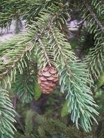 pommes de pin suspendues dans l & # 39; arbre photo