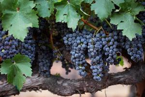 vigne de cabernet