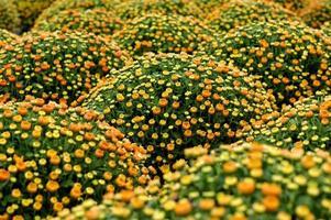 belles fleurs de chrysanthème orange et jaune photo