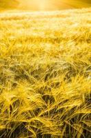champ d'orge à la lueur dorée