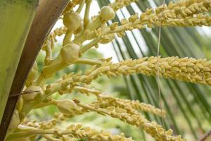 fleurs de noix de coco fraîches