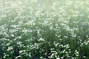 fleurs de camomille sauvage