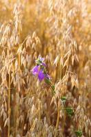 bluebell dans un champ de céréales photo