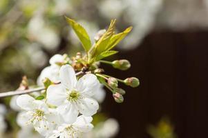 le cerisier en fleurs au printemps ensoleillé