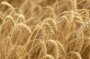 champ de blé mûr photo