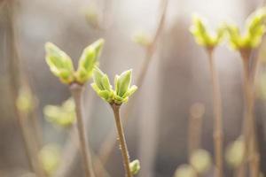 premiers bourgeons de printemps sur buisson de lilas photo