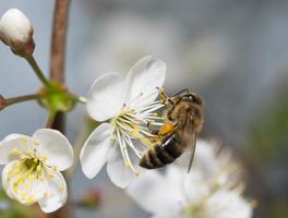 abeille recueille le nectar sur les fleurs de cerisier photo