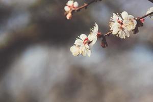 branche de cerisier en fleurs dans un style vintage