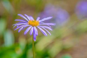 fleur de camomille bleue colorée photo