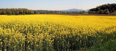 champ de colza oléagineux