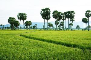 le chemin sur la rizière verte et les palmiers