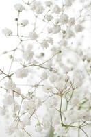 fleurs blanches de gypsophile