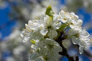 floraison printanière des arbres fruitiers photo