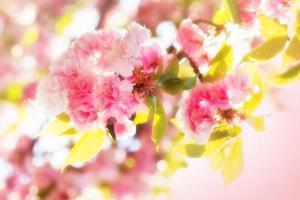 fleur de cerisier japonais - floraison