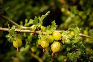 Branche de groseille à maquereau - ribes grossularia