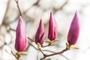 belles fleurs de magnolia rose photo