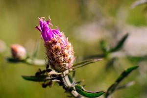 bourgeon fleur pourpre, fond d'herbe verte