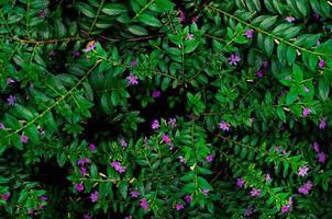 fausse bruyère, herbe d'elfe photo