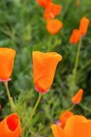 fleurs de pavot de Californie