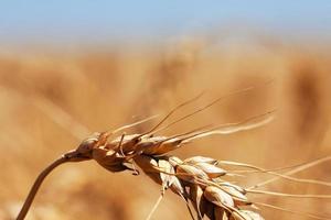 cône de blé photo